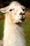 Llama portrait. White llama, close up, portrait Royalty Free Stock Photography
