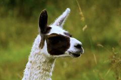 Llama portrait Stock Photography