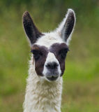 Llama portrait. Head shot of a cute and curious brown and white llama against green pastoral background Ecuador Stock Images