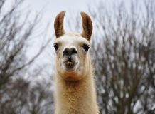 A llama Royalty Free Stock Photo