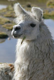 Llama portrait. Portrait of a Llama in the altiplano region, high in zhe andes, chile Stock Photography