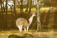 Llama Stock Photography