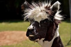 Llama. A portrait of a lama with a funny haircut and stare Royalty Free Stock Photos