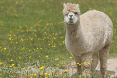 Llama. Portrait - a larger animal that the alpaca Royalty Free Stock Photos