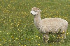 Llama Royalty Free Stock Photography