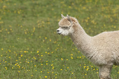 Llama. Portrait - a larger but related animal to the Alpaca Royalty Free Stock Image