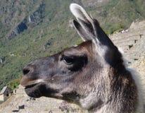 Llama portrait at Machu Picchu Royalty Free Stock Images