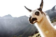 Llama in Machu Picchu, Cuzco, Peru royalty free stock photo