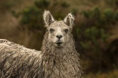 Llama portrait in the rain. This is a photo of a llama or alpaca, taken in national park cajas, Ecuador royalty free stock photos