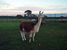 Llama. Posing for the camera Royalty Free Stock Images