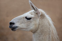 Llama Profile Royalty Free Stock Photography