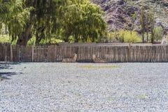 Llama in Purmamarca, Jujuy, Argentina. Llama in Purmamarca, near Cerro de los Siete Colores (The Hill of Seven Colors), in the colourful valley of Quebrada de Stock Photos