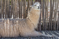 Llama in Purmamarca, Jujuy, Argentina. Stock Photography