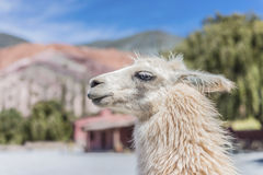 Llama in Purmamarca, Jujuy, Argentina. Royalty Free Stock Photo