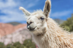 Llama in Purmamarca, Jujuy, Argentina. Stock Photos