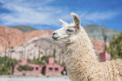 Llama in Purmamarca, Jujuy, Argentina. Royalty Free Stock Photos