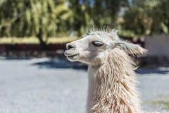 Llama in Purmamarca, Jujuy, Argentina. Stock Photos