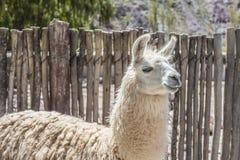 Llama in Purmamarca, Jujuy, Argentina. Llama in Purmamarca, near Cerro de los Siete Colores The Hill of Seven Colors, in the colourful valley of Quebrada de Stock Photo
