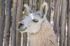 Llama in Purmamarca, Jujuy, Argentina. Royalty Free Stock Images