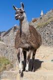 Llama que camina abajo de las escaleras en Machu montañas de Picchu, los Andes, Perú Foto de archivo libre de regalías
