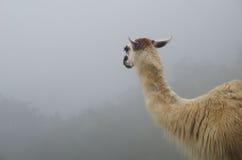 Llama que mira en la niebla en Perú Imagenes de archivo