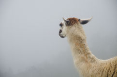 Llama que mira en la niebla en Perú Imagen de archivo libre de regalías
