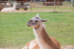 Llama relax in spring sunny day. Stock Photos