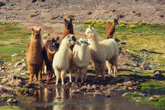 Llama. In remote area of Argentina royalty free stock photography