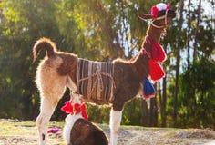 Llama. In remote area of Argentina stock photos