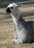 Llama 3 Stock Photography