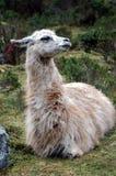 Llama Resting Stock Photos