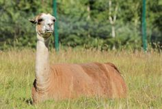 Llama resting Stock Photo