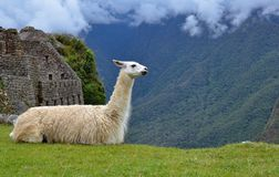 Llama Resting At Machu Picchu Ruins Royalty Free Stock Photo