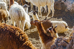 Llama resting on the ground at the southern altiplano. In Bolivia Royalty Free Stock Image