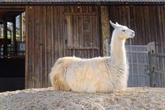 Llama resting Royalty Free Stock Image