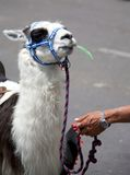 Llama rides Royalty Free Stock Photography