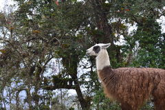 A Llama in the Ruins of Kuelap, the lost city of Chachapoyas, Peru. The lost city of Kuelap belonged to the Chachapoyas indian tribe, and is one of the most stock photo