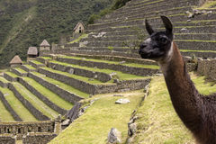 Llama in ruins of Machu Picchu Royalty Free Stock Images