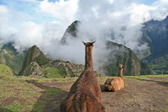 Llama's Eye View of Machu Picchu Royalty Free Stock Photos