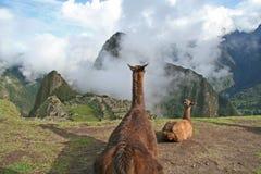 Llama's Eye View of Machu Picchu. Llamas at Machu Picchu gazing onto the city Royalty Free Stock Photos