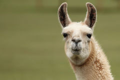 Llama S Face Close Up Look. Stock Image