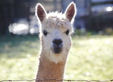 LLama's Face Frontal View Royalty Free Stock Images