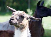Llama's funny portrait. Funny llama's portrait on the sunny day Royalty Free Stock Image