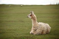 Llama's gaze. farm with green background. Llama's gaze with green background. farm Stock Images
