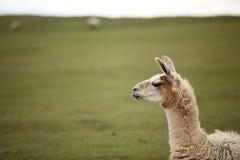 Llama's gaze. farm with green background. Llama's gaze with green background. farm Royalty Free Stock Photos