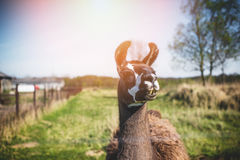 Llama's gaze. Lama animal graze in the meadow with wire fence Royalty Free Stock Photography