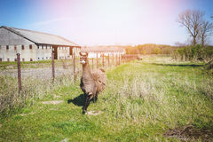 Llama's gaze. Lama animal graze in the meadow with wire fence Stock Photography