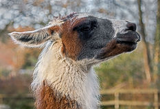 Llama`s head Royalty Free Stock Image