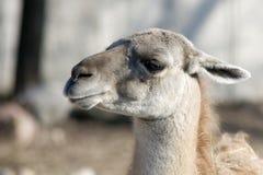 Llama's portrait. Portrait of happy Llama smiling Stock Images