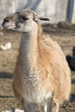 Llama's portrait Stock Photo